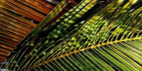 palm from vieques 2006