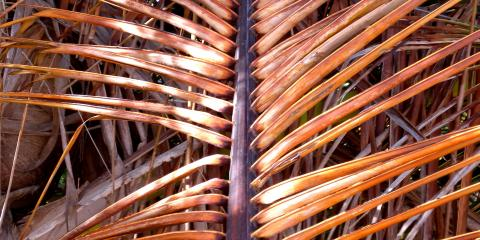 dried palm 2011 vieques